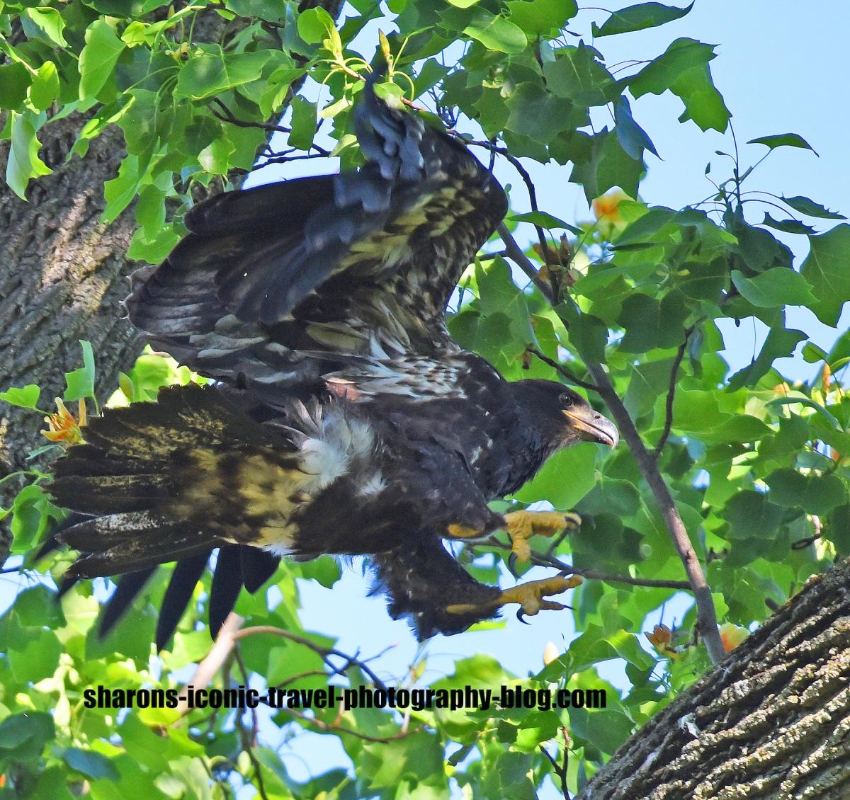 Eagle Branching