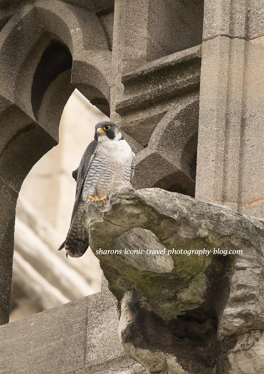 Peregrine Falcons of York Minster