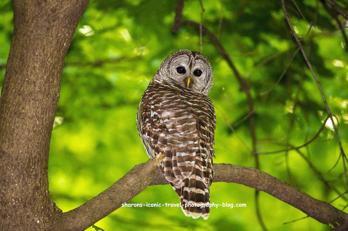 Self- Isolating Barred Owl