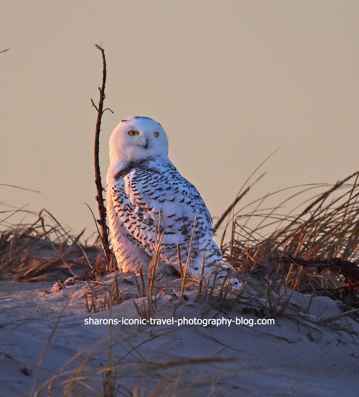 Snowy Owl and Photographers