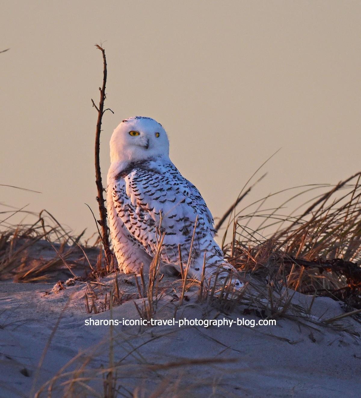 Snowy Owl andPhotographers